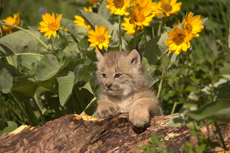 Cucciolo di Lynx immagini stock