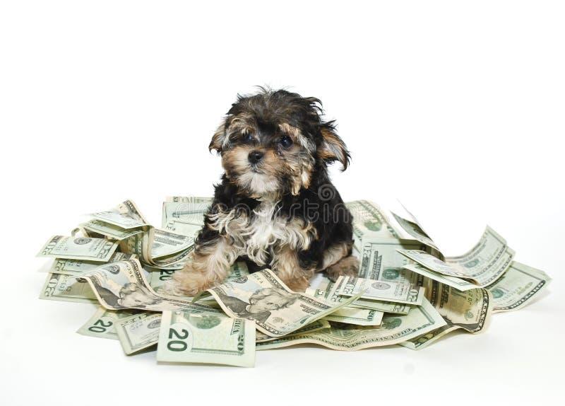 Cucciolo di Morkie con un mucchio di soldi immagine stock