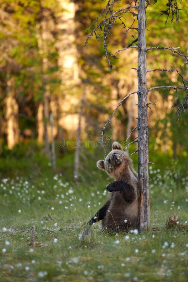 Cucciolo di orso bruno che mastica il ramo asciutto della smagliatura immagini stock