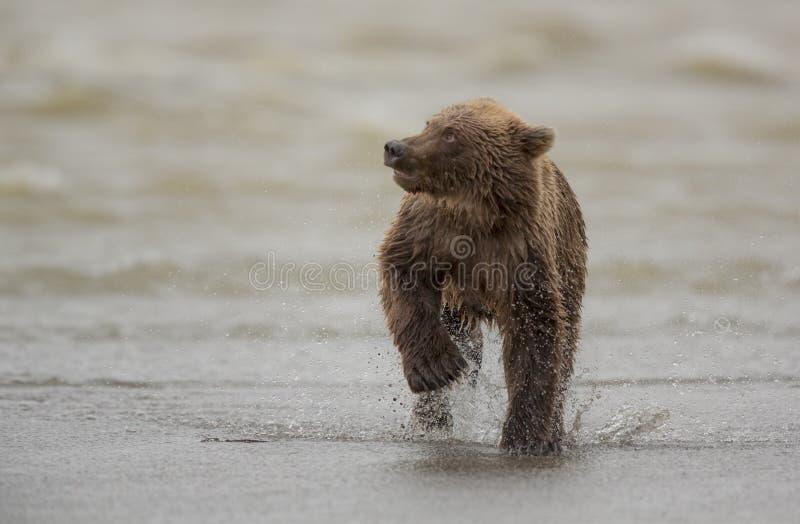 Cucciolo di orso bruno costiero fotografia stock libera da diritti