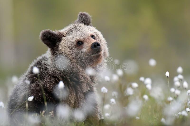 Cucciolo di orso bruno a paesaggio di estate fotografie stock