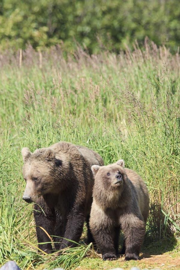 Cucciolo di orso bruno simile a pelliccia con la madre immagine stock