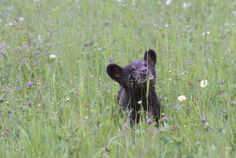 Cucciolo di orso nero dell'anno in Wildflowers immagine stock libera da diritti