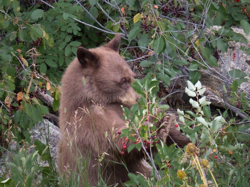 Cucciolo di orso nero dopo le bacche immagine stock