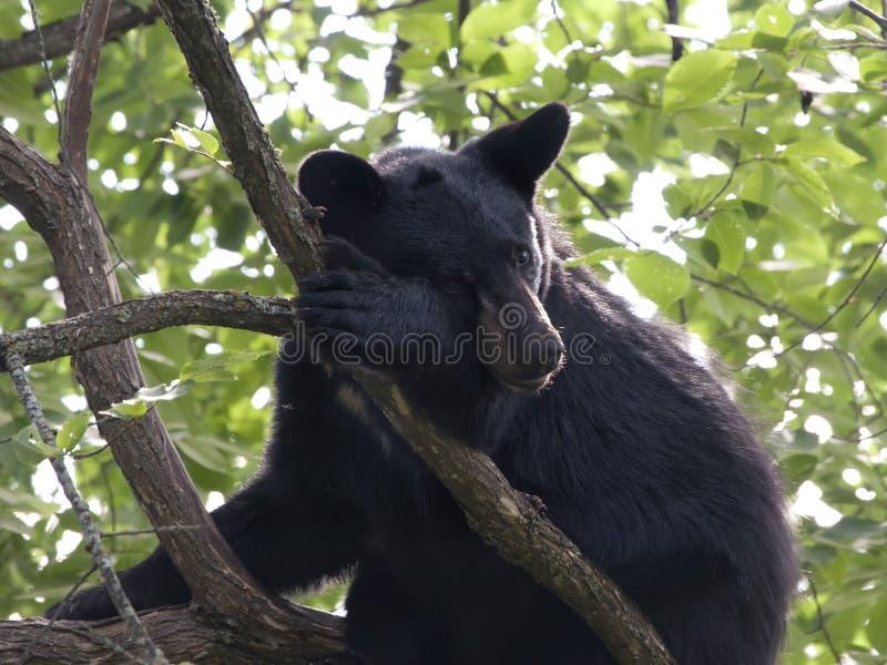 Cucciolo di orso nero stanco fotografie stock