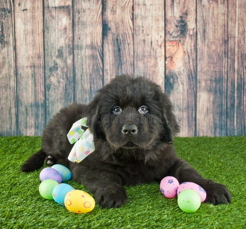 Cucciolo di Pasqua Terranova fotografie stock