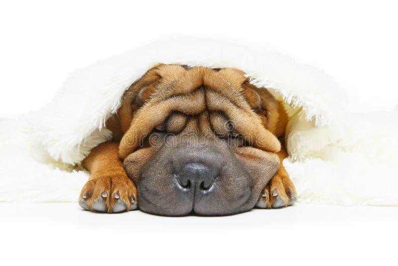 Cucciolo di pei di Shar sotto il plaid fotografia stock libera da diritti
