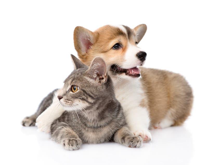 Cucciolo di Pembroke Welsh Corgi che abbraccia gatto Isolato su priorità bassa bianca immagine stock