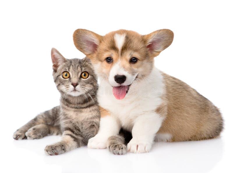 Cucciolo di Pembroke Welsh Corgi che si trova insieme con il gatto e che esamina macchina fotografica Isolato immagine stock libera da diritti
