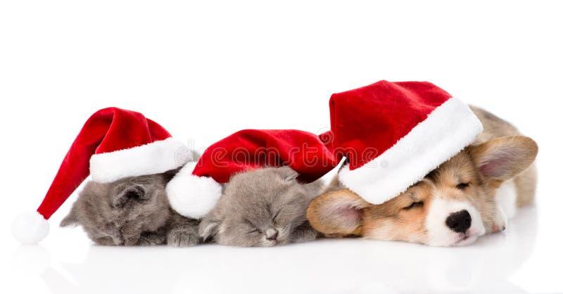 Cucciolo di Pembroke Welsh Corgi con i cappelli rossi di Santa e due gattini Isolato fotografia stock