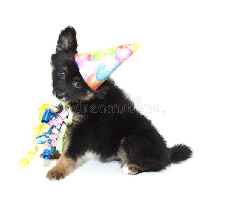 Cucciolo di Pomeranian di compleanno fotografia stock