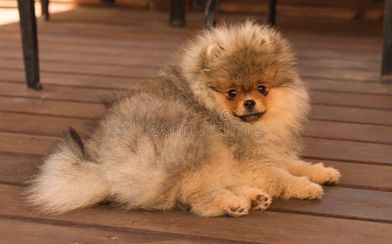 Cucciolo di Pomeranian nella tonalità un giorno di estate fotografie stock