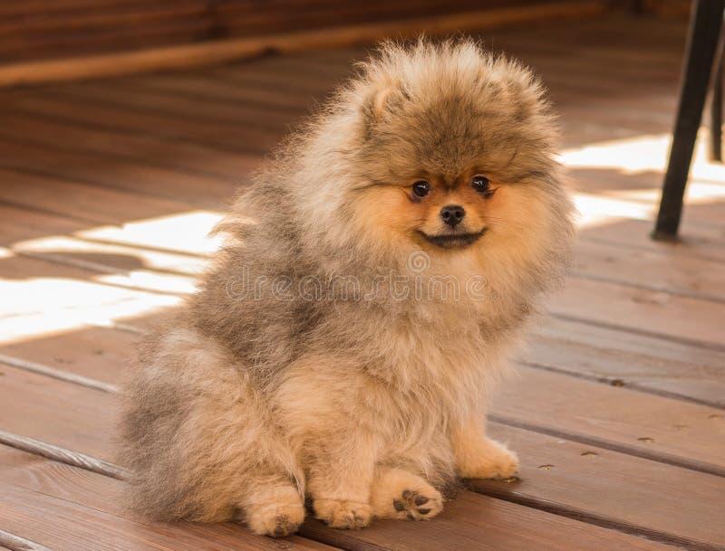 Cucciolo di Pomeranian nella tonalità un giorno di estate immagini stock libere da diritti