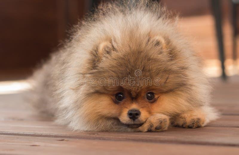 Cucciolo di Pomeranian nella tonalità un giorno di estate immagini stock