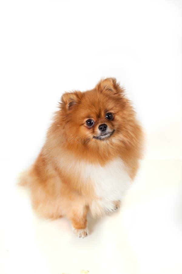 Cucciolo di Pomeranian su fondo bianco immagini stock libere da diritti