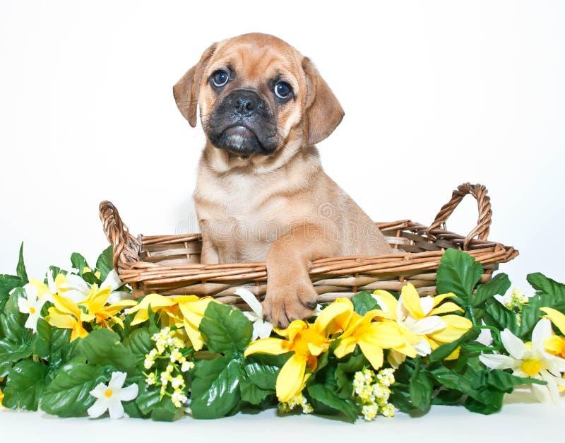 Cucciolo di Puggle fotografie stock