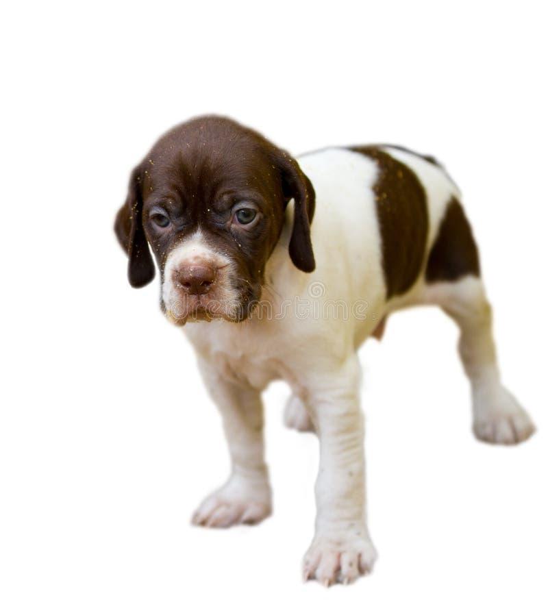 Cucciolo di razza del cane dell'indicatore fotografie stock