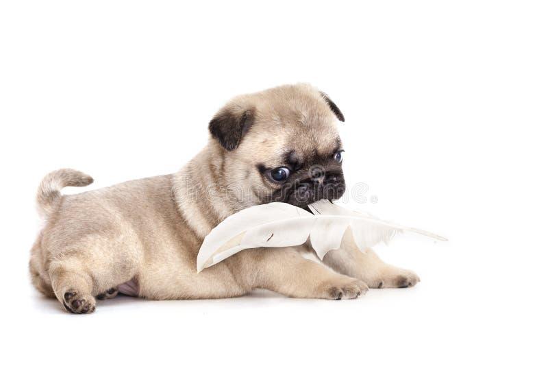 Cucciolo di razza del pug fotografia stock libera da diritti