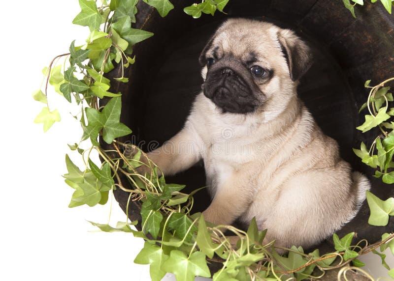 Cucciolo di razza del Pug, ritratto immagine stock