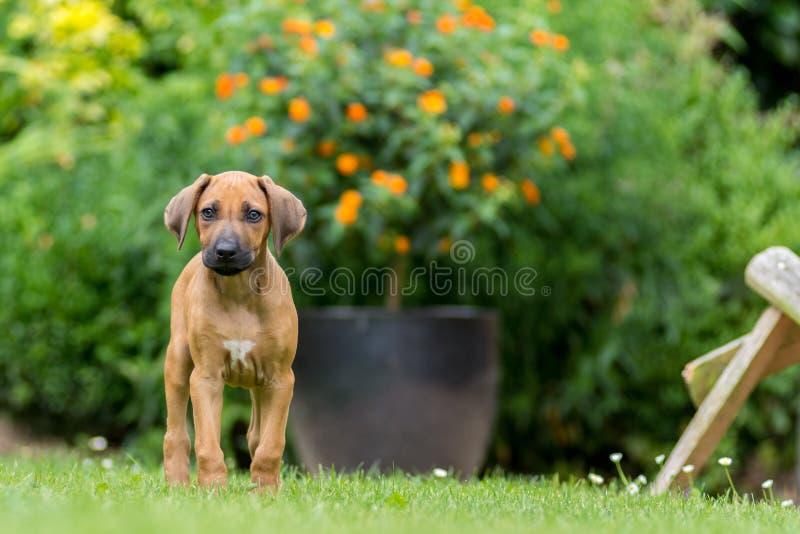 Cucciolo di Rhodesian Ridgeback fotografia stock
