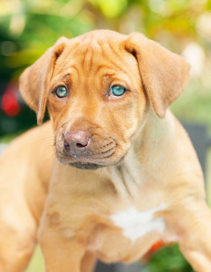 Cucciolo di Rhodesian Ridgeback con gli occhi azzurri immagini stock