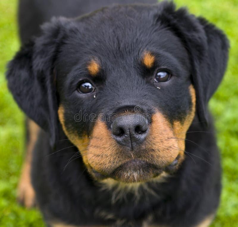 Cucciolo di Rottweiler fotografie stock libere da diritti