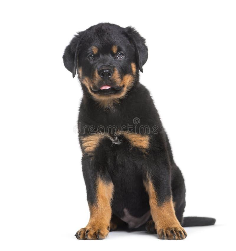 Cucciolo di Rottweiler, 10 settimane, sedentesi contro il fondo bianco fotografia stock libera da diritti