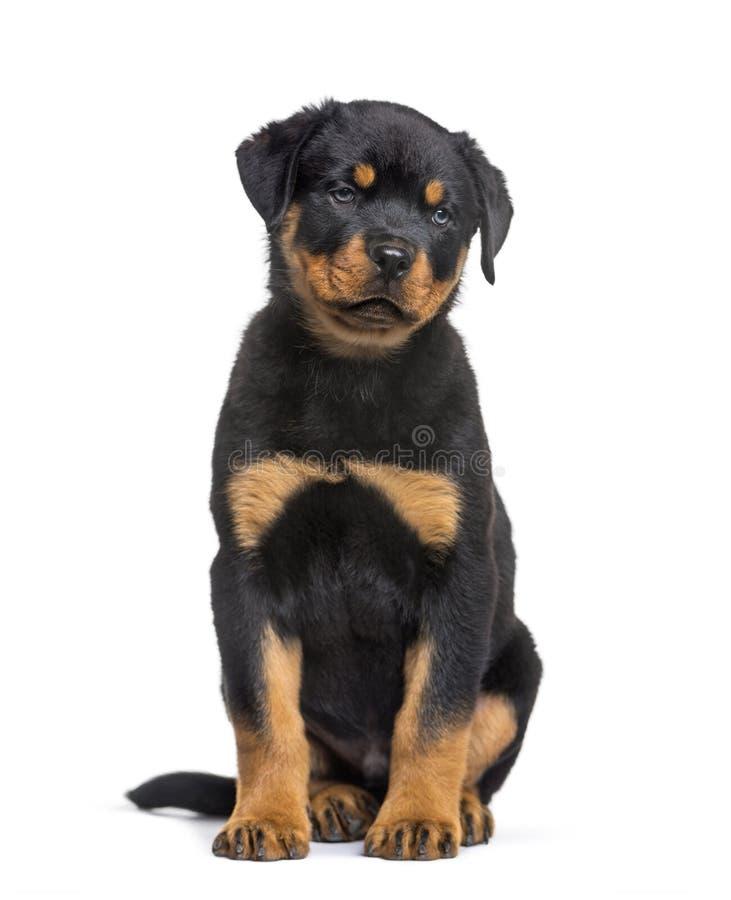 Cucciolo di Rottweiler, 10 settimane, sedentesi contro il fondo bianco immagine stock