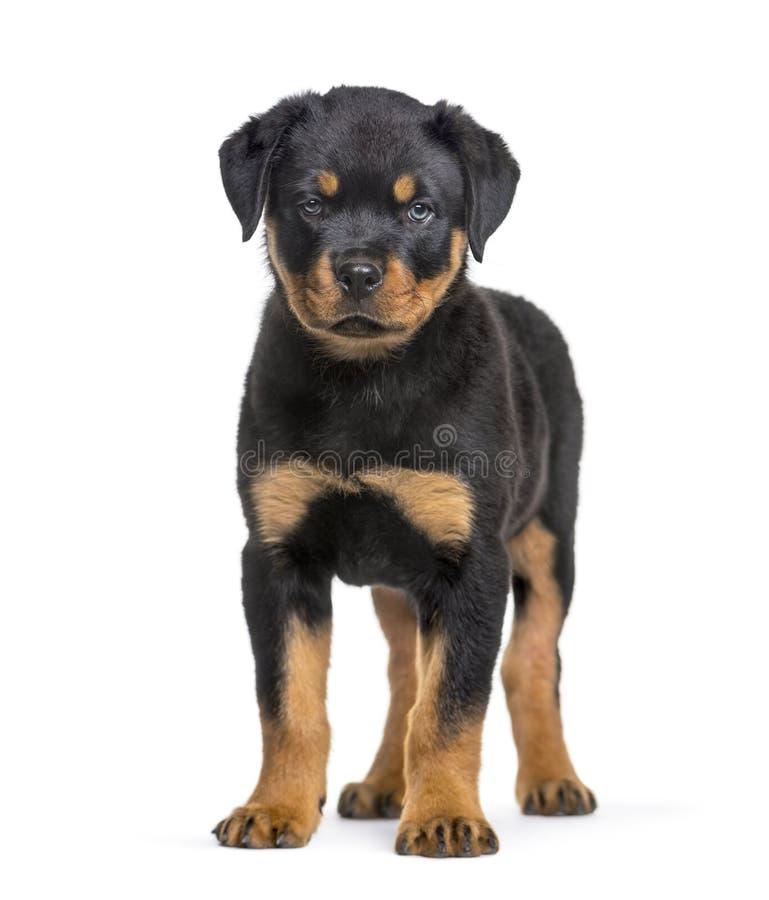 Cucciolo di Rottweiler, 10 settimane, stanti contro il fondo bianco fotografia stock libera da diritti