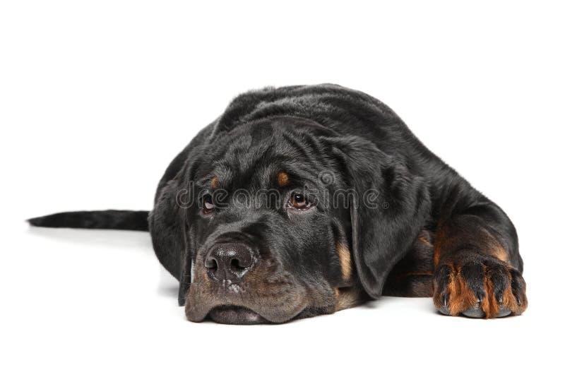 Cucciolo di Rottweiler su bianco immagini stock libere da diritti