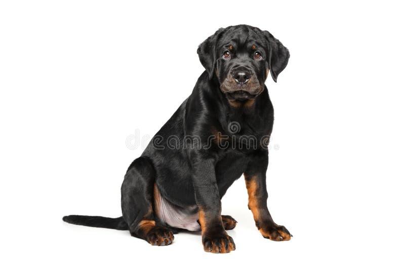 Cucciolo di Rottweiler su fondo bianco fotografia stock