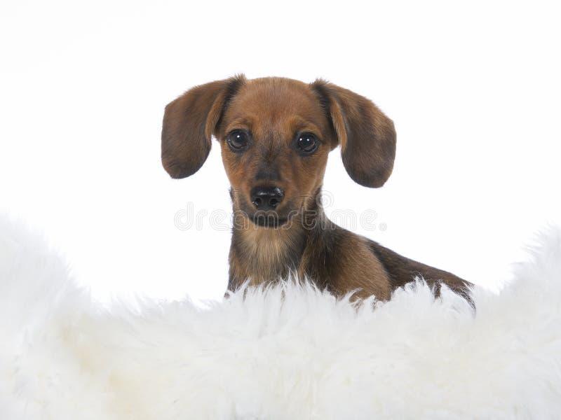 Cucciolo di sguardo divertente Cane della salciccia isolato su bianco fotografie stock libere da diritti