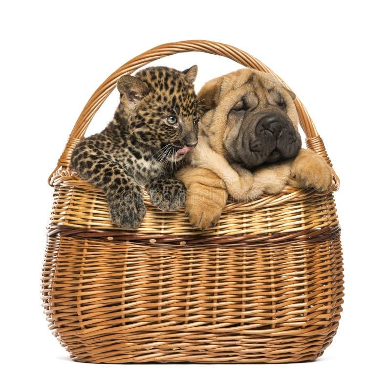 Cucciolo di Sharpei e cucciolo macchiato del leopardo in un canestro di vimini immagini stock