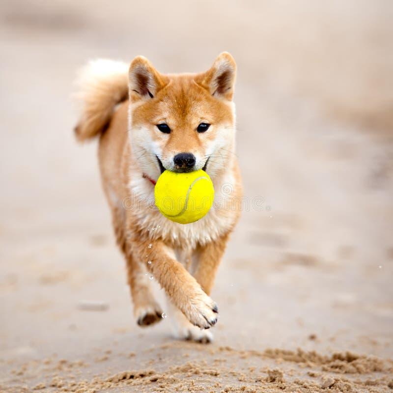 Cucciolo di Shiba-inu che gioca su una spiaggia immagini stock libere da diritti