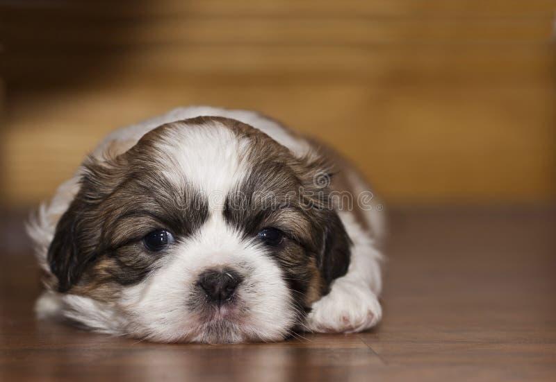 Cucciolo di Shih Tzu immagine stock