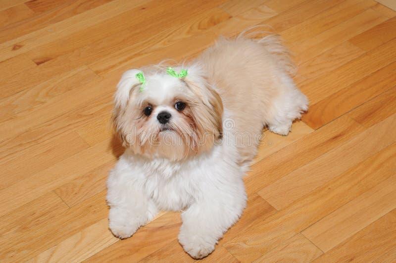 Cucciolo di Shih Tzu fotografia stock libera da diritti