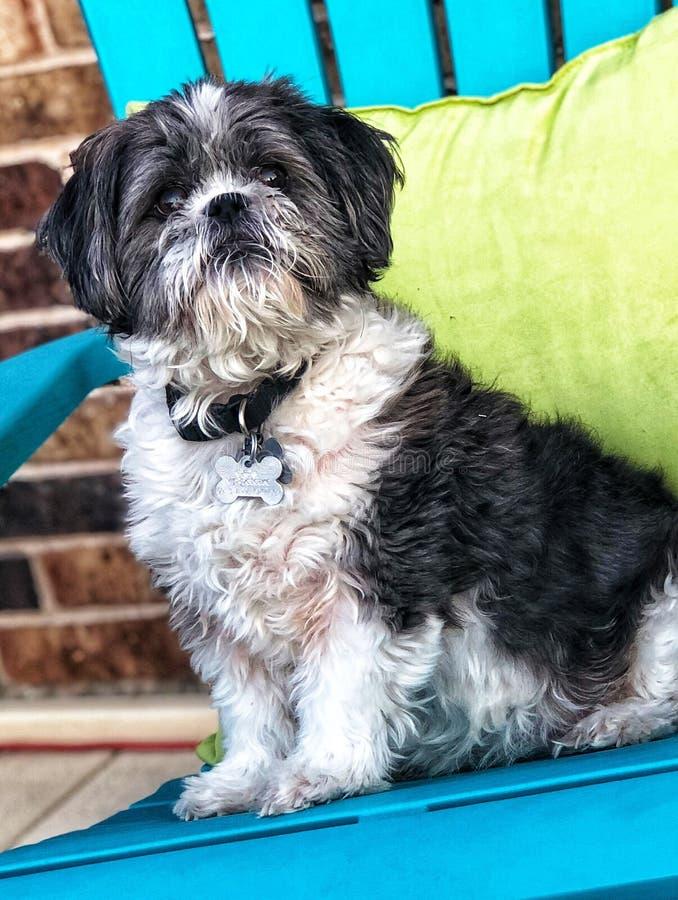Cucciolo di Shih Tzu che si siede su una sedia di spiaggia colorata luminosa immagini stock libere da diritti