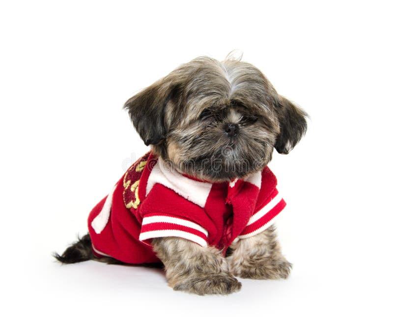 Cucciolo di Shih Tzu con calcio fotografia stock libera da diritti