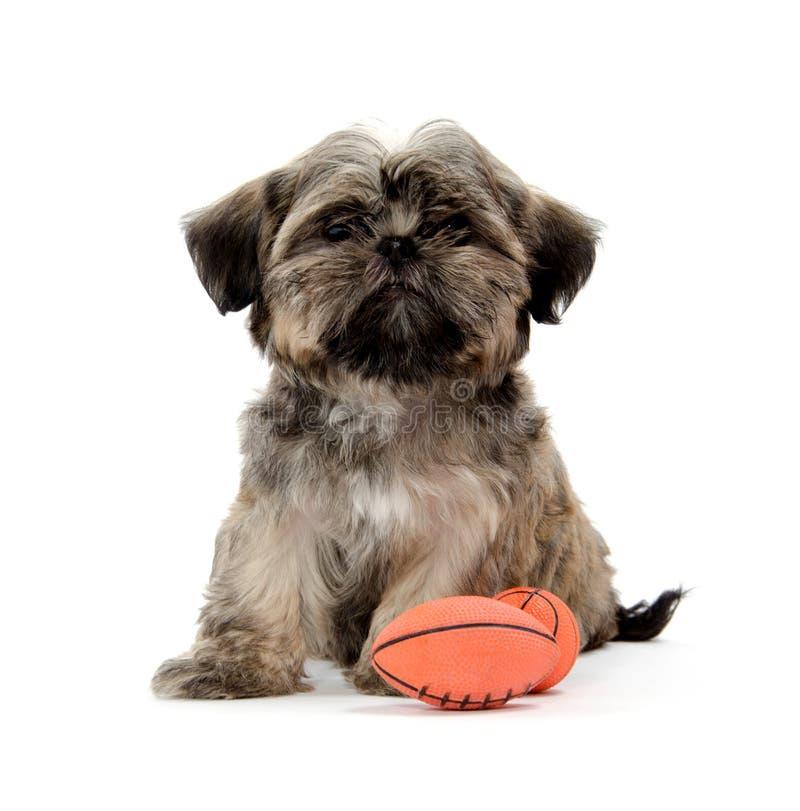 Cucciolo di Shih Tzu con un giocattolo fotografie stock libere da diritti