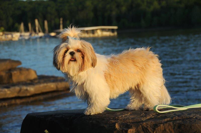 Cucciolo di Shih Tzu nel lago fotografie stock