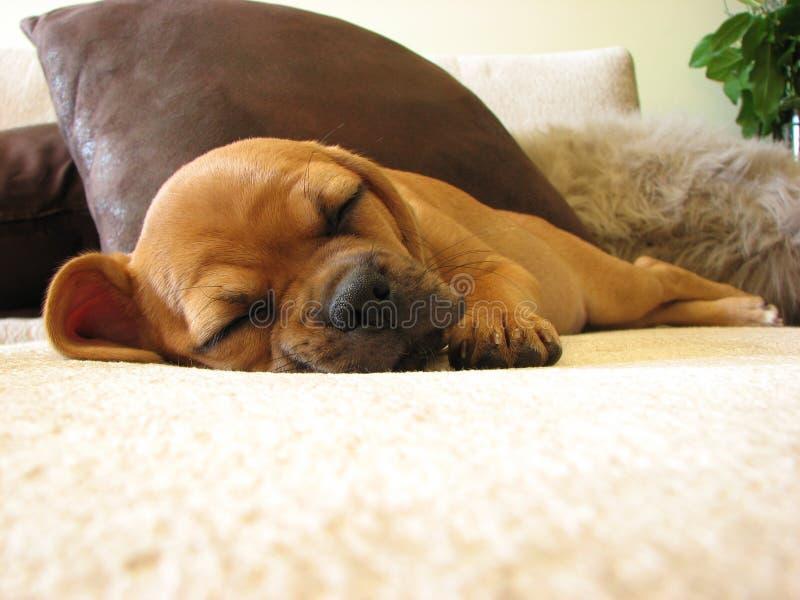 Cucciolo di sonno con i piedini attraversati fotografia stock libera da diritti