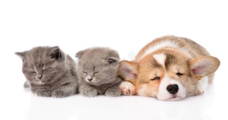Cucciolo di sonno Pembroke Welsh Corgi e due gattini Isolato fotografie stock libere da diritti