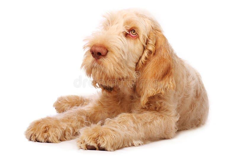 Cucciolo di Spinone fotografia stock