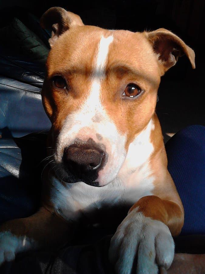 Cucciolo di Staffy fotografie stock libere da diritti