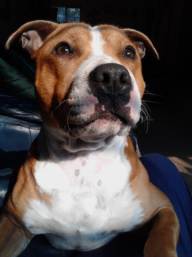 Cucciolo di Staffy fotografia stock