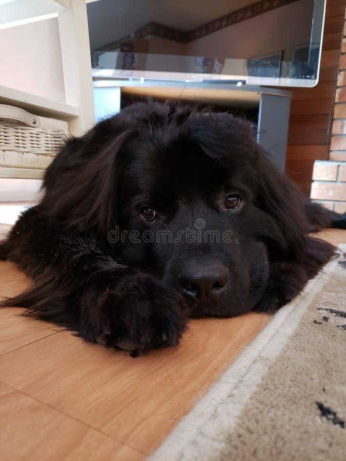 Cucciolo di Terranova fotografia stock libera da diritti