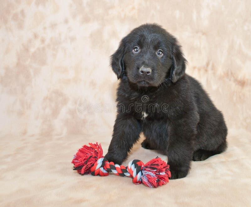 Cucciolo di Terranova fotografia stock