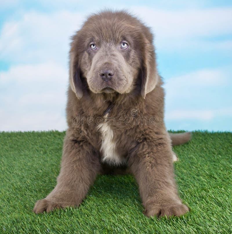 Cucciolo di Terranova fotografie stock libere da diritti