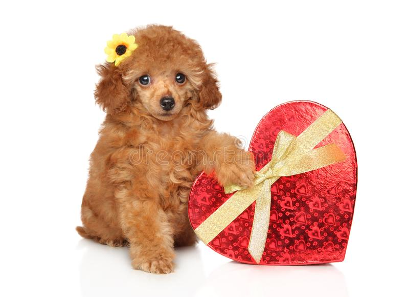 Cucciolo di Toy Poodle con cuore rosso fotografia stock