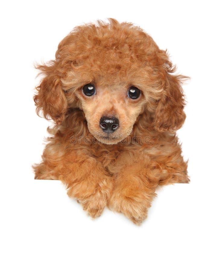 Cucciolo di Toy Poodle sopra l'insegna immagini stock libere da diritti
